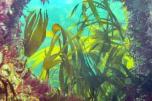Морская капуста: в чем польза для здоровья и красоты